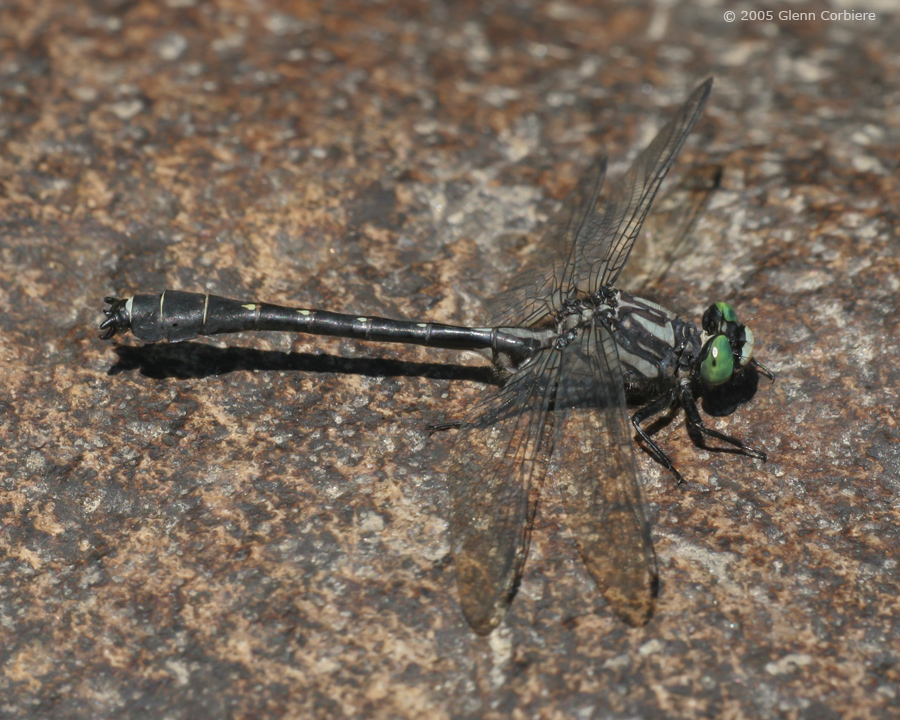Gomphus adelphus (Mustached Clubtail), male