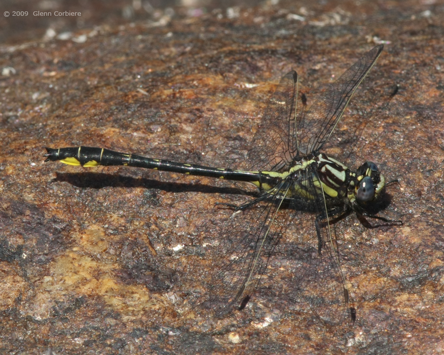 Gomphus quadricolor (Rapids Clubtail), male