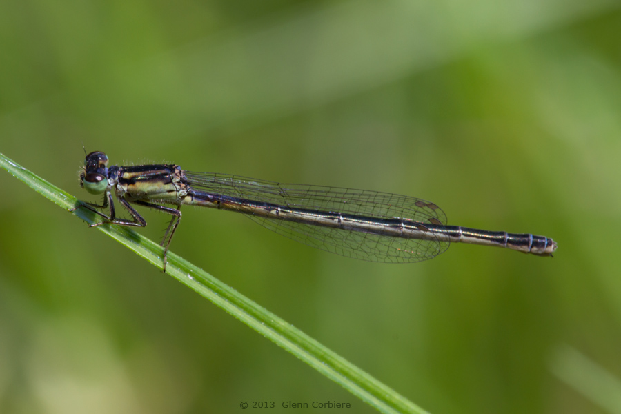 Ischnura hastata (Citrine Forktail), female