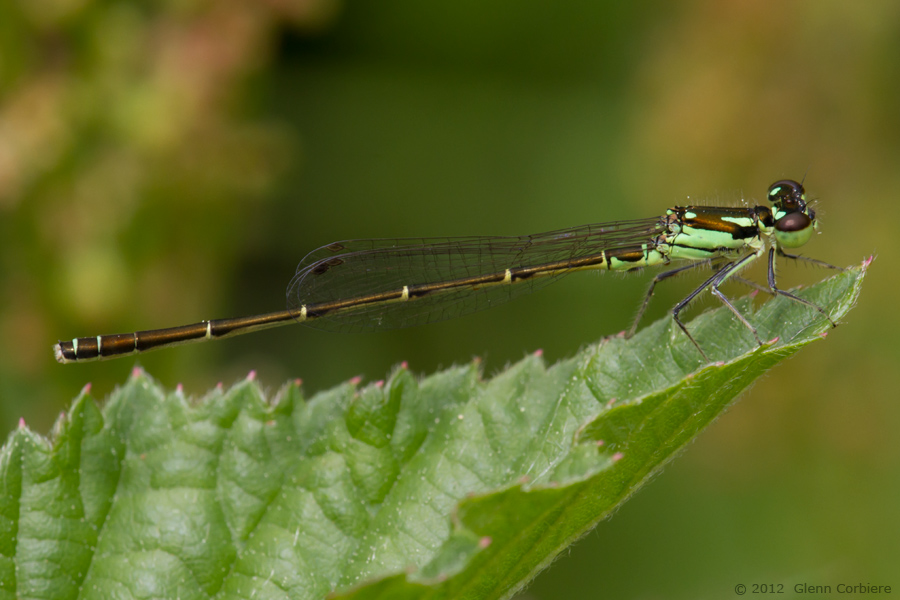 Ischnura posita (Fragile Forktail), male