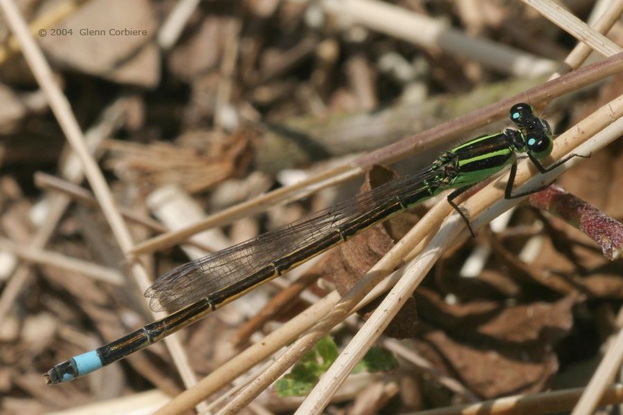 Ischnura ramburii (Rambur's Forktail), male-like female