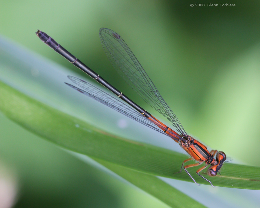 Ischnura verticalis (Eastern Forktail), blue form female two
