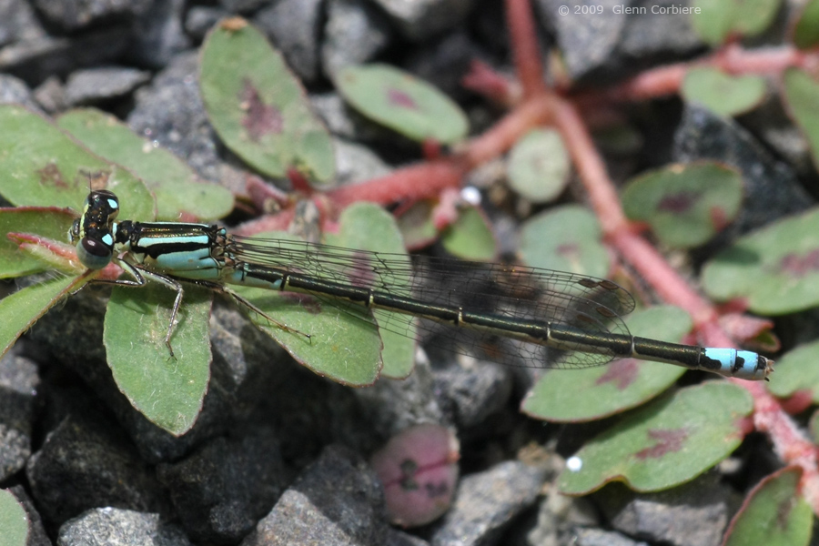 Ischnura verticalis (Eastern Forktail), male-like female