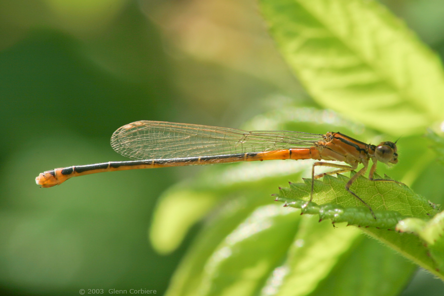 Ischnura verticalis (Eastern Forktail), unusual orange form female