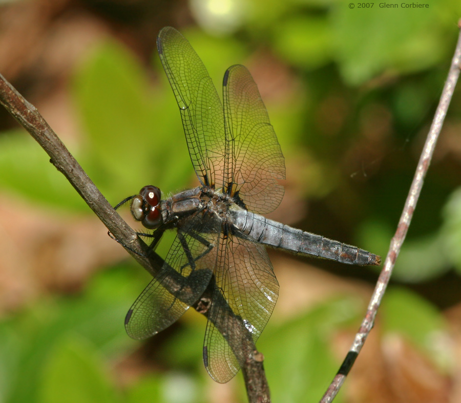 Ladona julia (Chalk-fronted Corporal), female