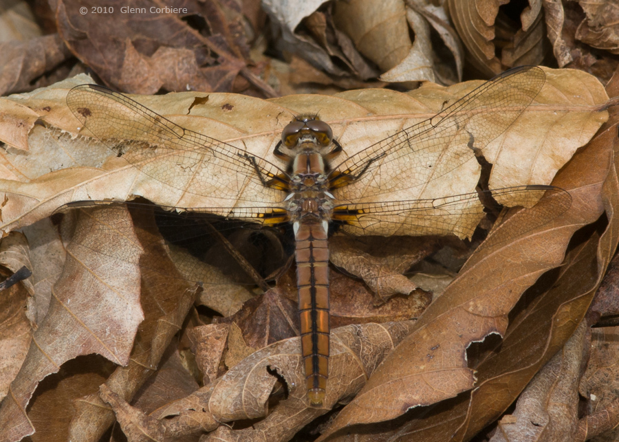 Ladona julia (Chalk-fronted Corporal), immature female