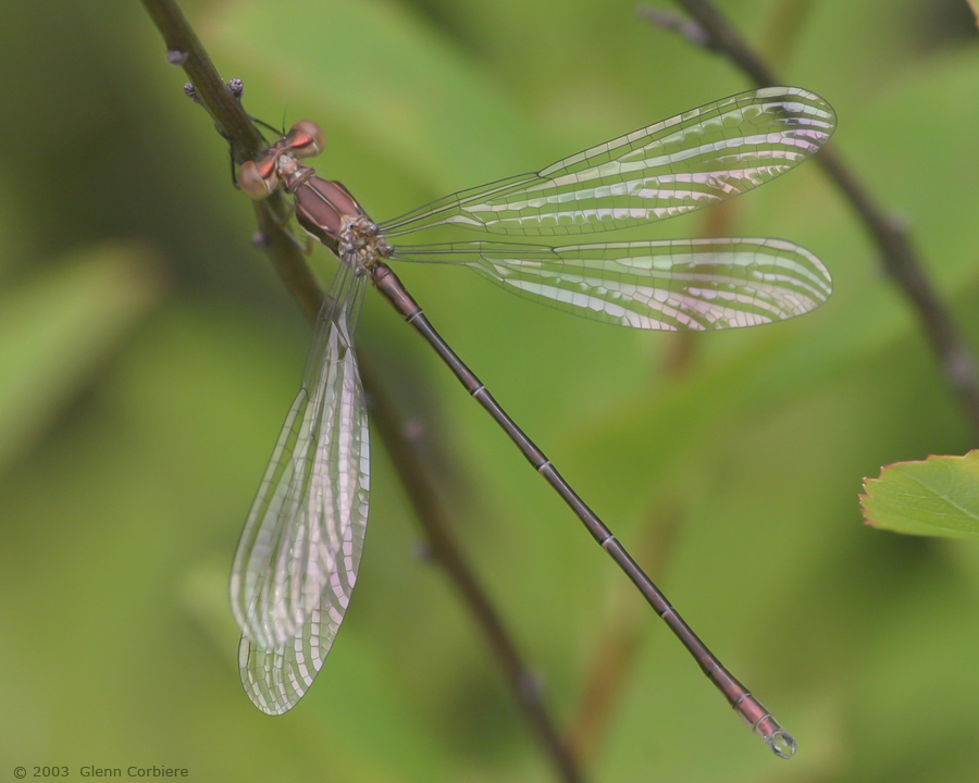 Lestes congener (Spotted Spreadwing), teneral male