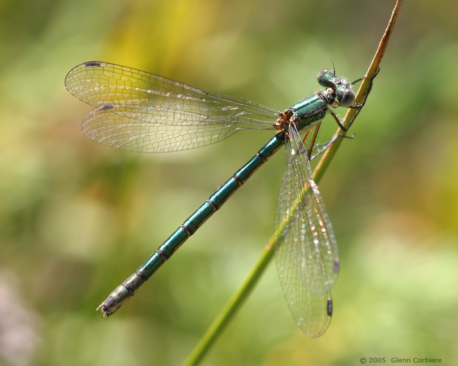 Lestes dryas (Emerald    Spreadwing), female