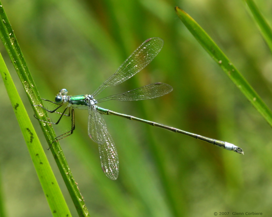 Lestes dryas (Emerald 