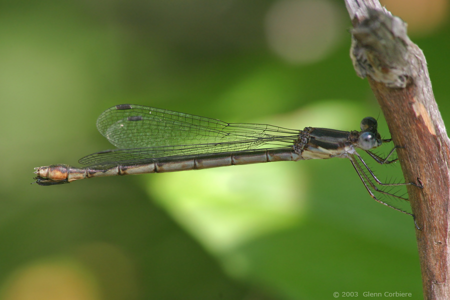 Lestes forcipatus (Sweetflag Spreadwing), female