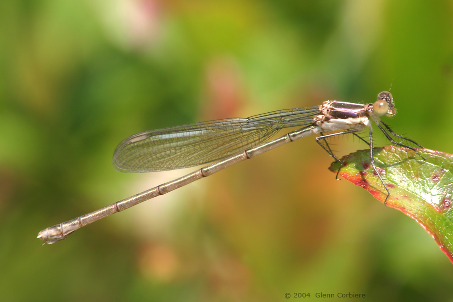 Lestes vigilax (Swamp Spreadwing), teneral female