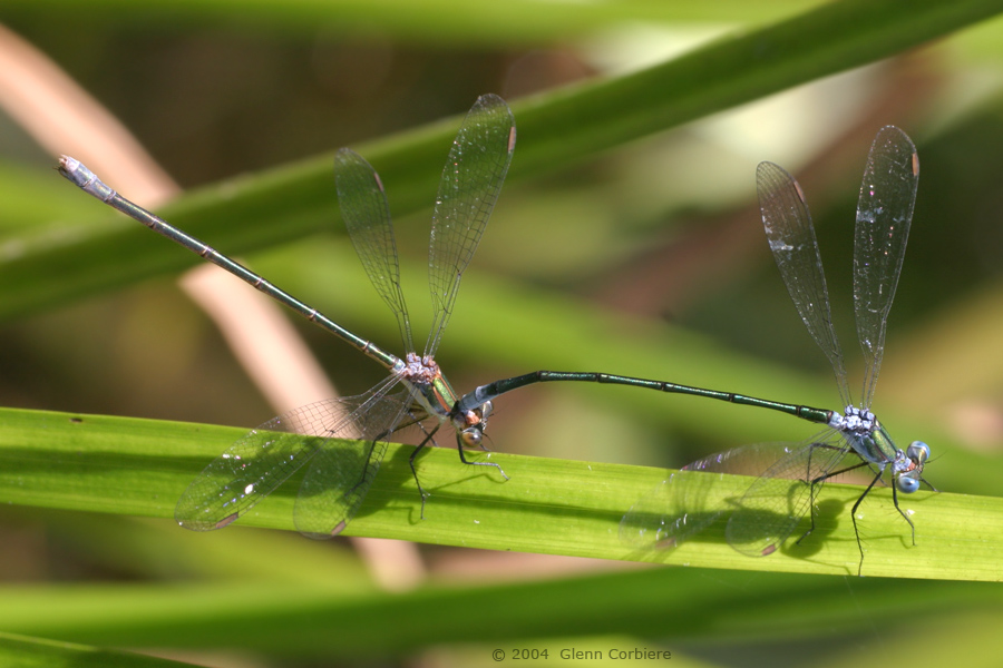Lestes vigilax (Swamp Spreadwing), pair