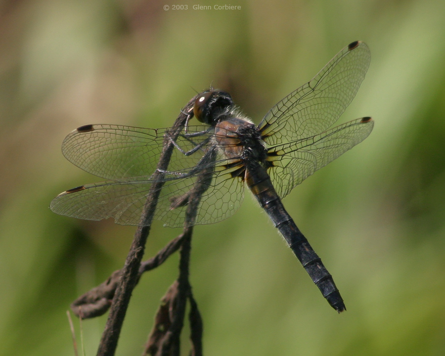 Leucorrhinia frigida (Frosted Whiteface), female