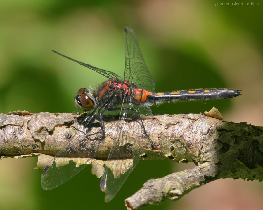 Leucorrhinia glacialis (Crimson-ringed Whiteface), female