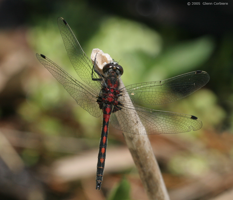 Leucorrhinia hudsonican (Hudsonian Whiteface), male - red form