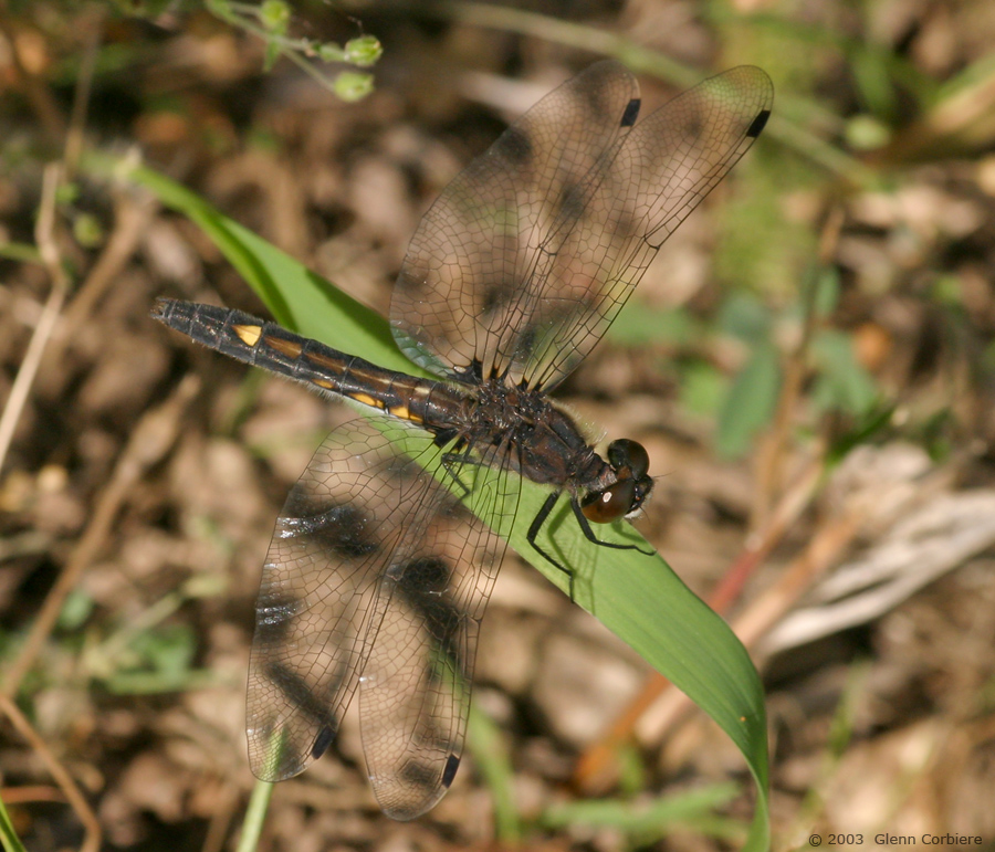 Leucorrhinia intacta (Dot-tailed Whiteface), female