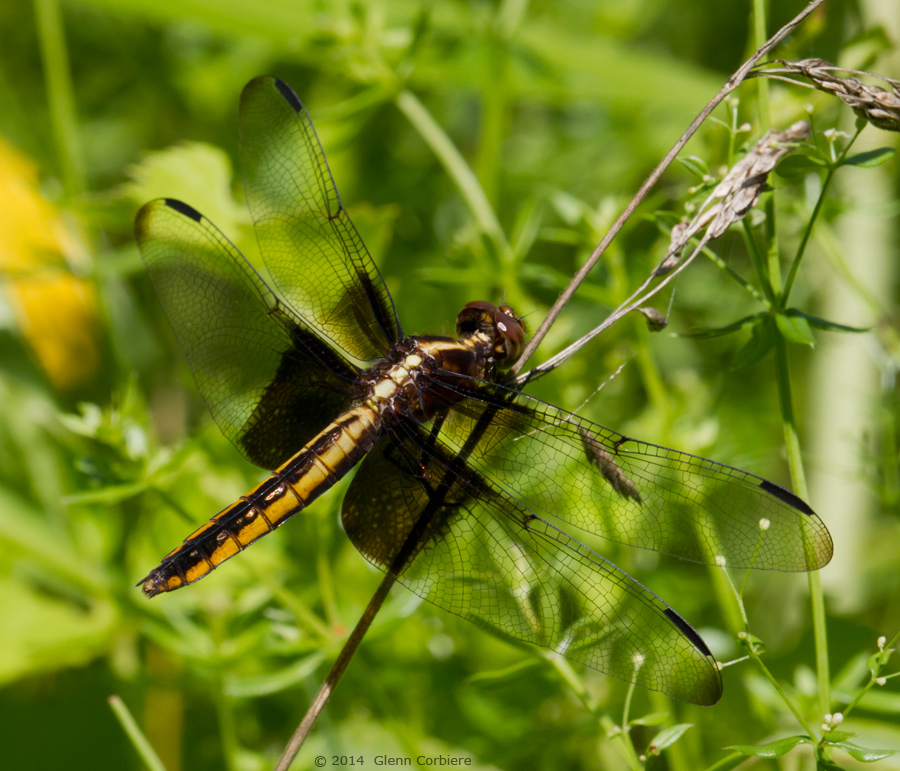 Libellula luctuosa (Widow Skimmer), female two