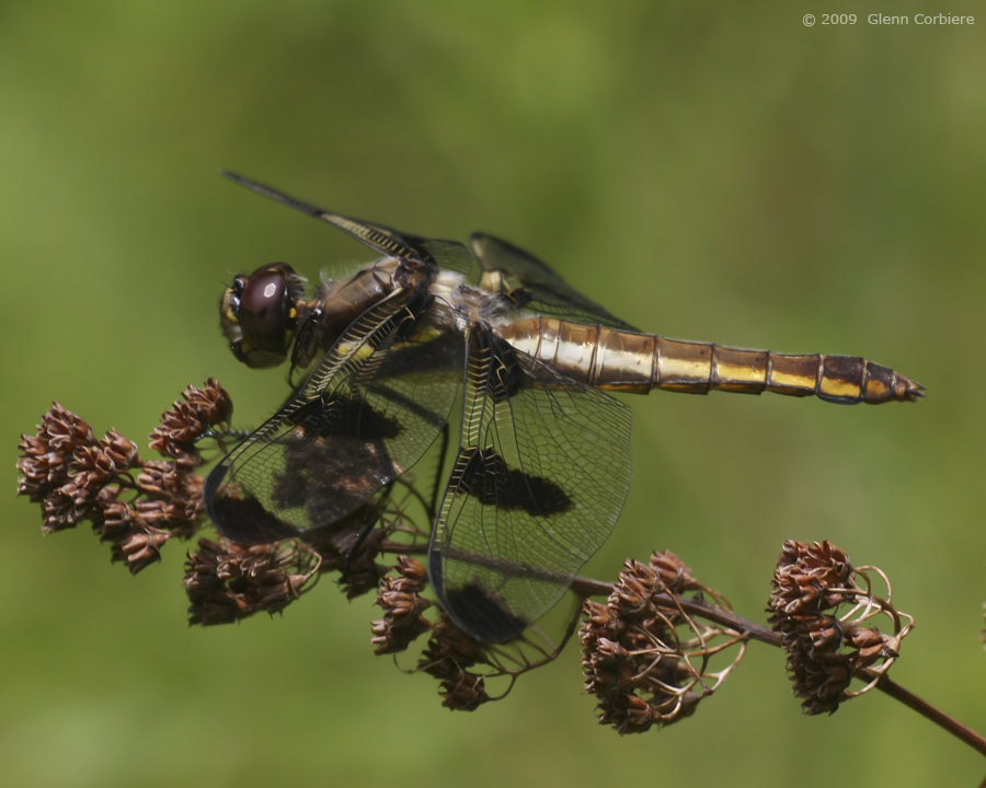 Libellula pulchella (Twelve-spotted Skimmer), female