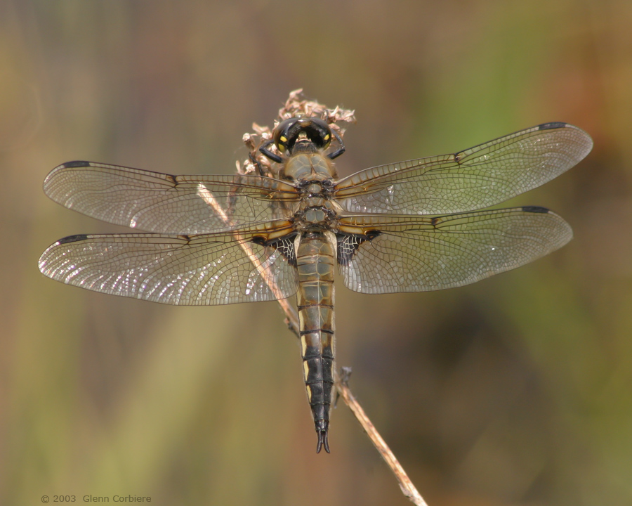 Libellula quadrimaculata (Four-spotted Skimmer), male