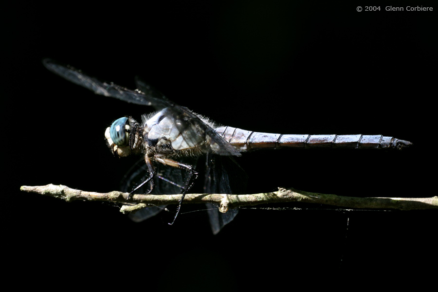 Libellula vibrans (Great Blue Skimmer), male