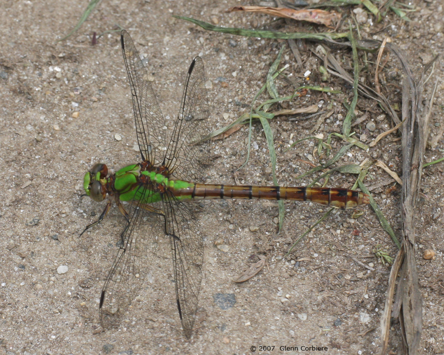Ophiogomphus rupinsulensis (Rusty Snaketail), female