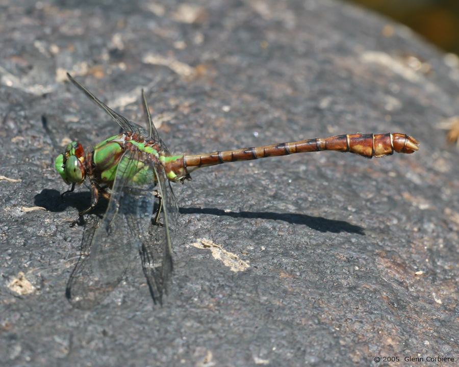 Ophiogomphus rupinsulensis (Rusty Snaketail), male