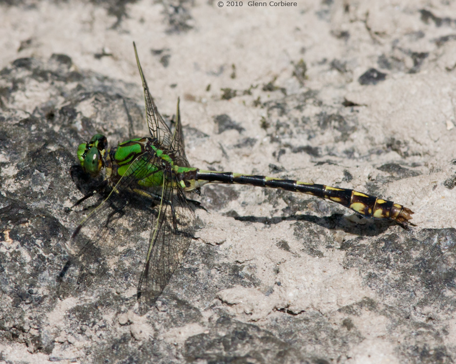Ophiogomphus aspersus (Brook Snaketail), male