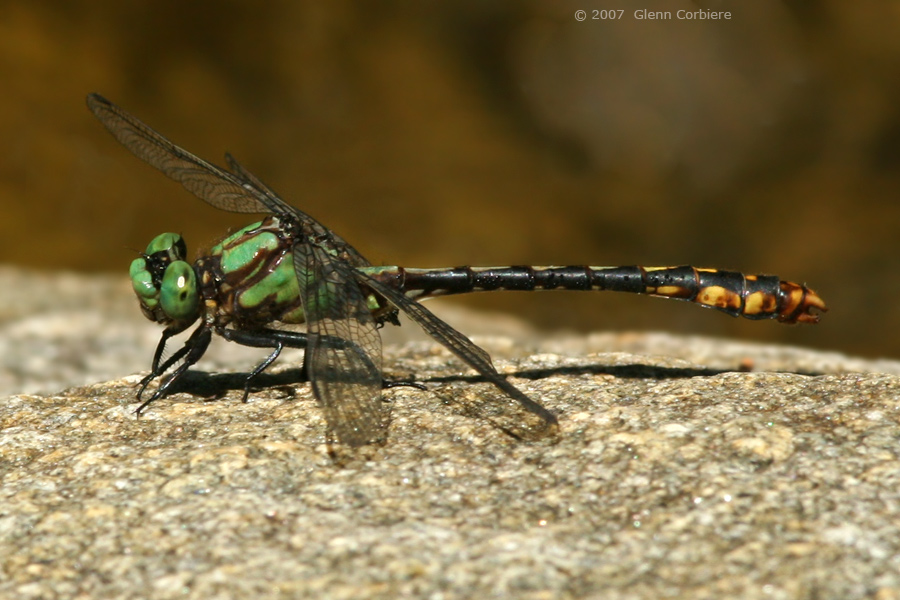 Ophiogomphus mainensis (Maine Snaketail)