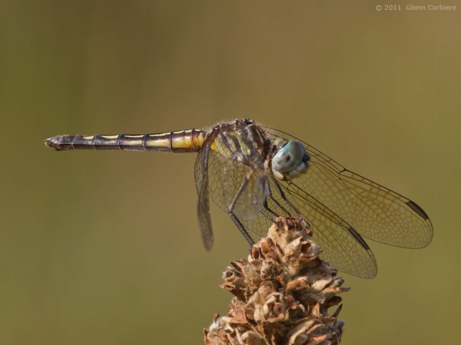 Pachydiplax longipennis (Blue Dasher), female