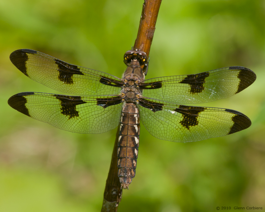 Plathemis lydia (Common Whitetail), female