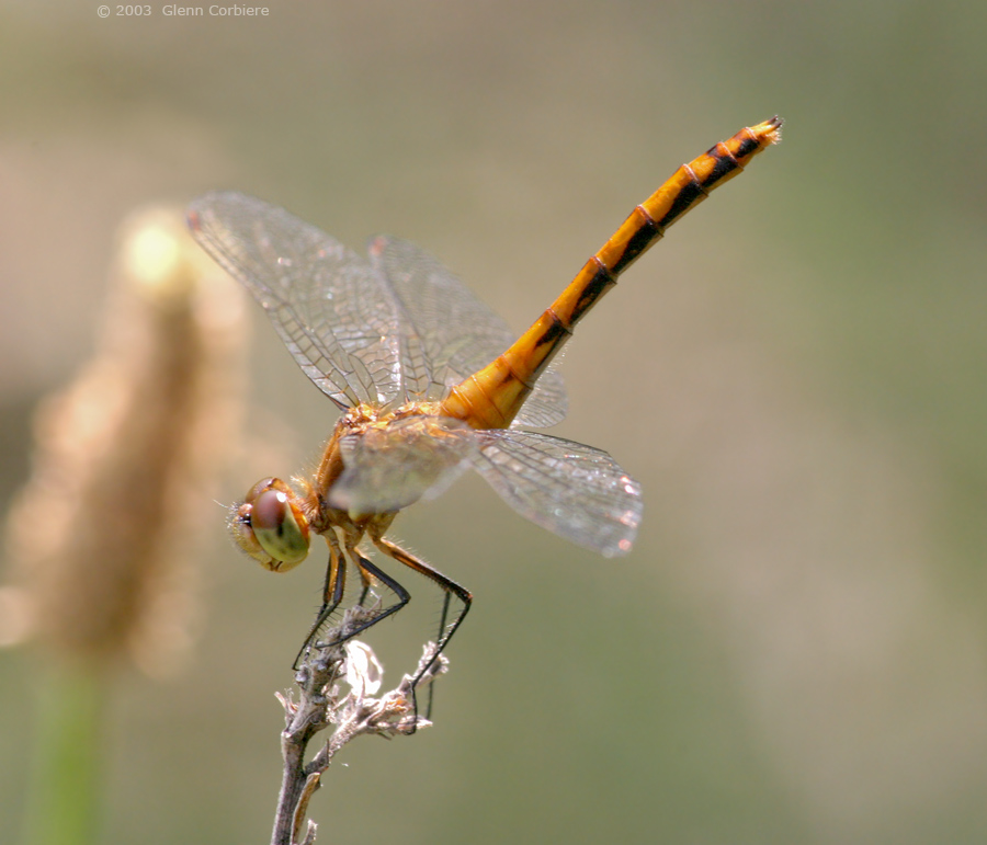 Sympetrum internum/janae (Cherry-faced or Jane's Meadowhawk), female