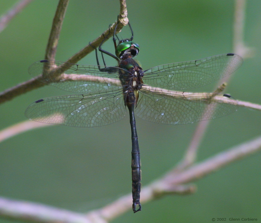 Somatochlora tenebrosa (Clamp-tipped Emerald), male