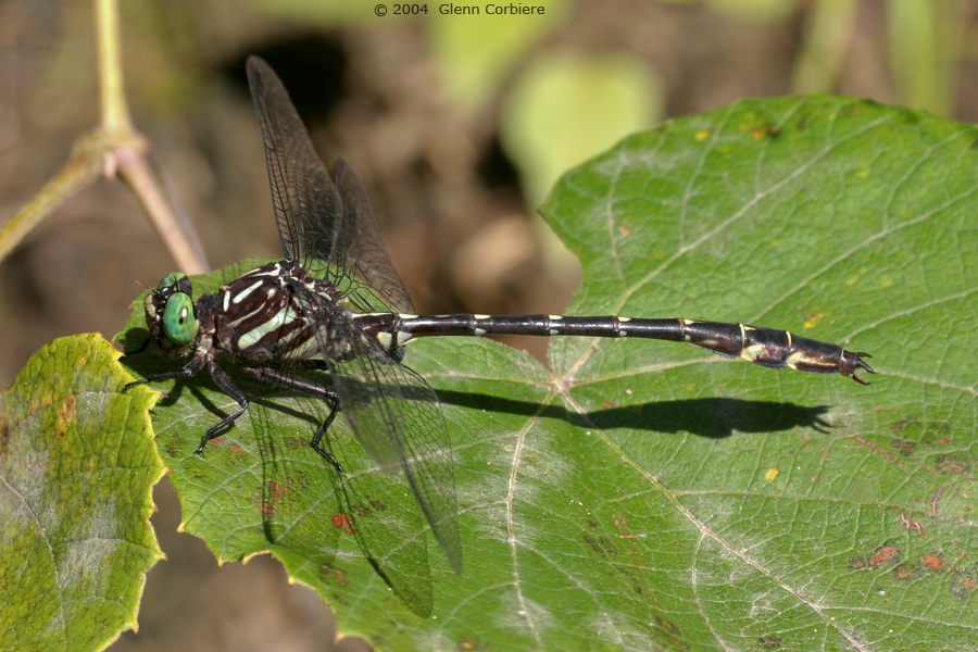 Stylurus spiniceps (Arrow Clubtail), male