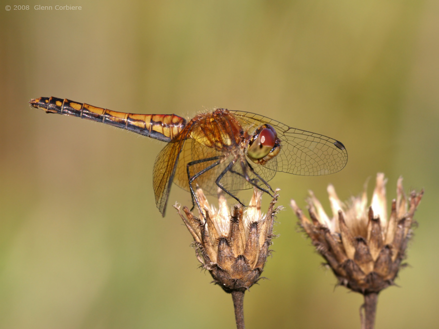 Sympetrum semicinctum (Band-winged Meadowhawk), female