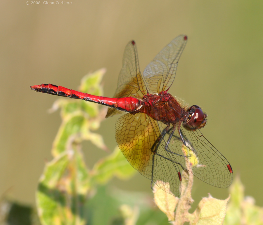 Sympetrum semicintum (Band-winged Meadowhawk), male