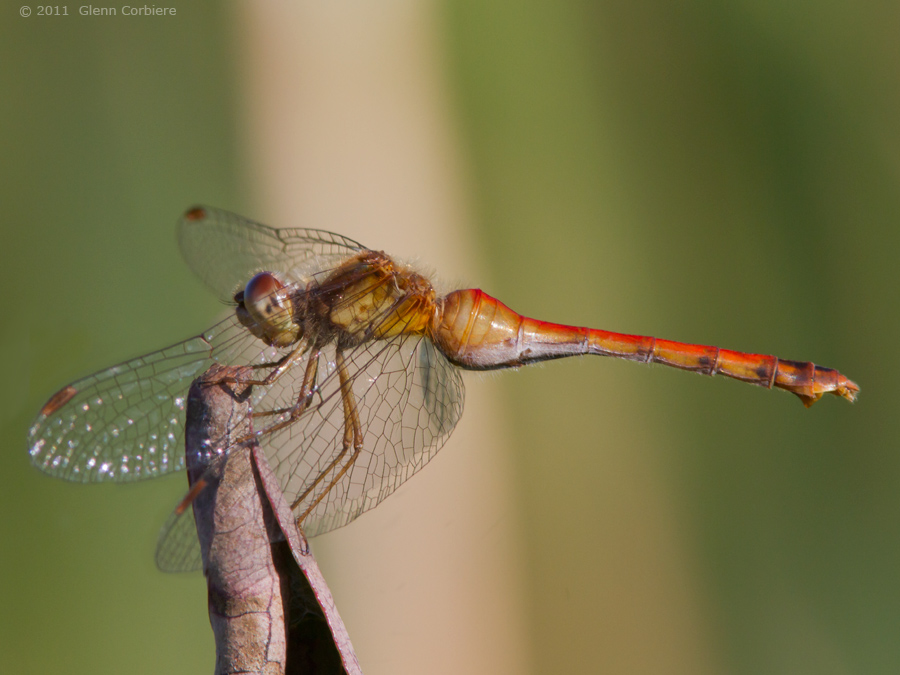 Sympetrum vicinum (Autumn Meadowhawk), female
