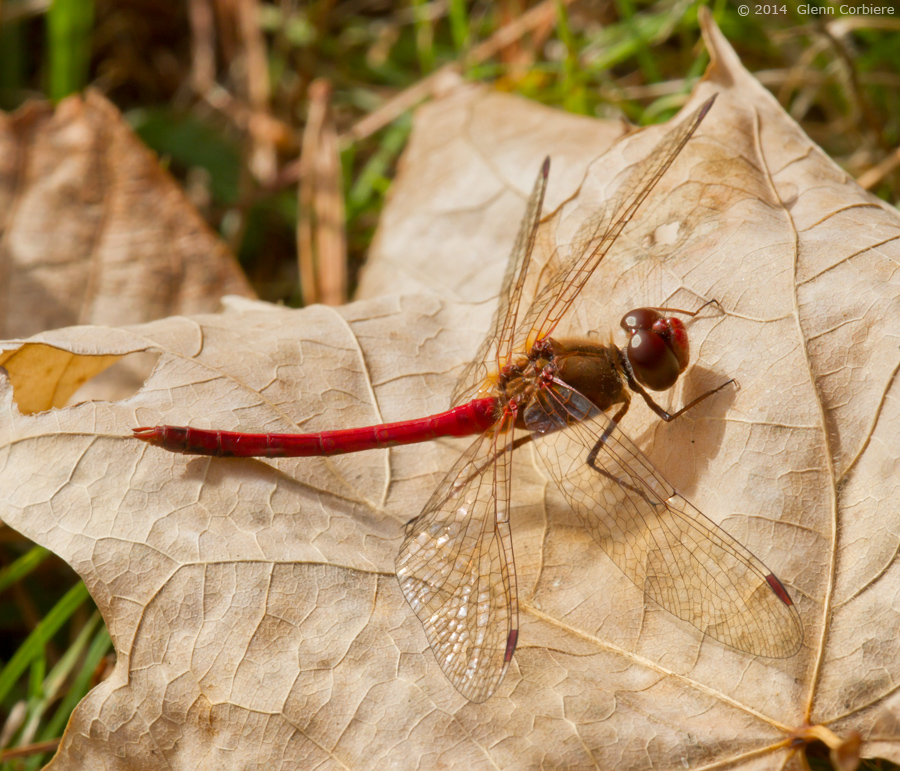 Sympetrum vicinum (Autumn Meadowhawk), male