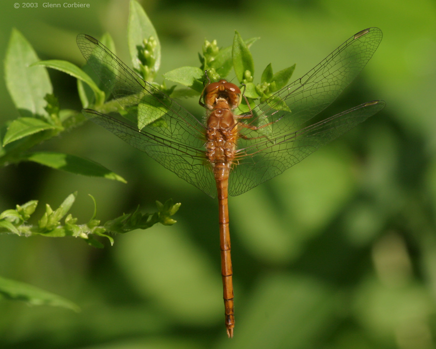 Sympetrum vicinum (Autumn Meadowhawk), teneral male