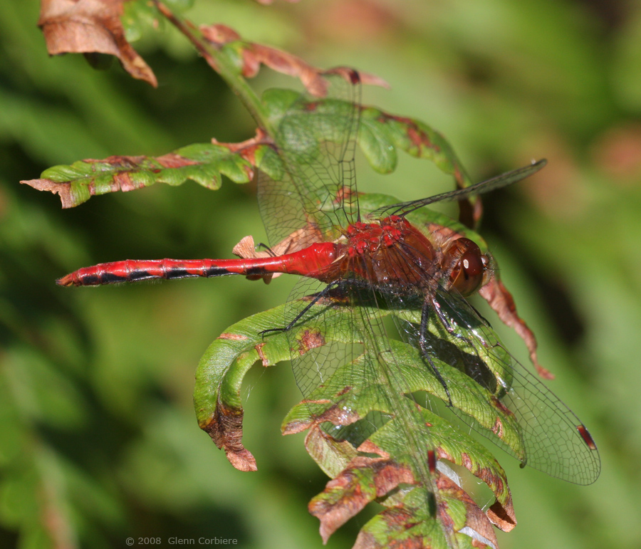 Sympetrum internum (Cherry-faced Meadowhawk), male 1