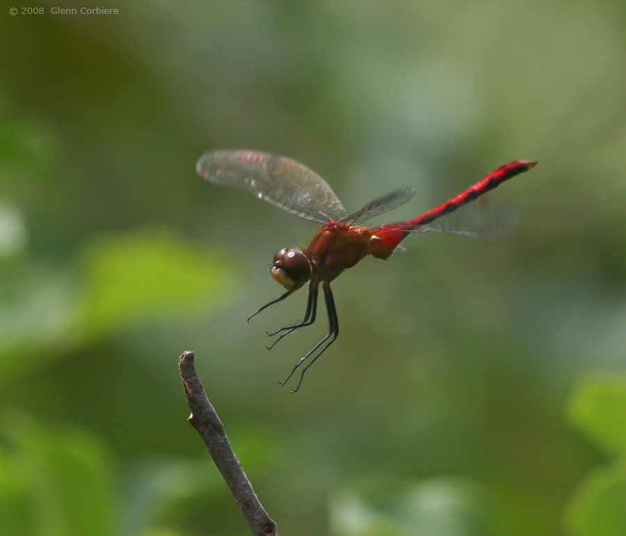 Sympetrum internum (Cherry-faced Meadowhawk), male 2