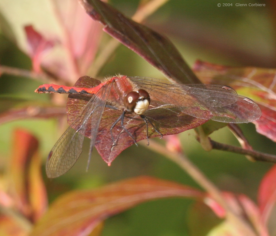Sympetrum obtrusum (White-faced Meadowhawk), male