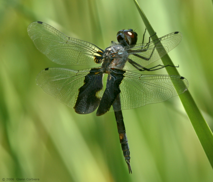 Tramea lacerata (Black Saddlebags), male